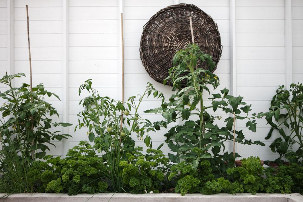 Upphöjd bädd i växthuset där det växer persilja, gräslök och tomat