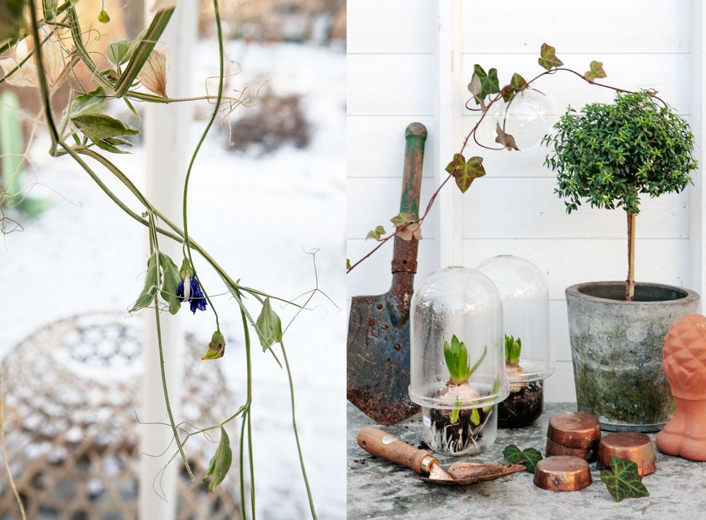 En torkad luktärtskvist upphängd som dekoration och ett stilleben med myrten kopparformar, kopparspade och murgröna i vägghängd vas