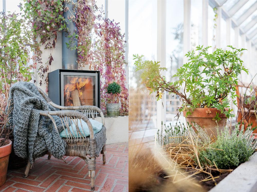 Fåtölj med ullpläd framför tänd brasa i växthuset och frodig doftpelargon, timjan och ljung i de upphöjda bäddarna