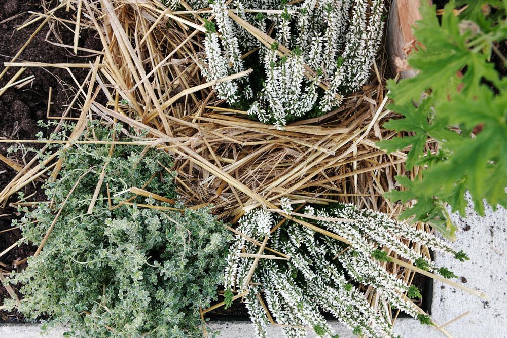 Kryddväxter och ljung, upphöjda bäddar, växthus, växter inbäddade i halm, Sweden Green House