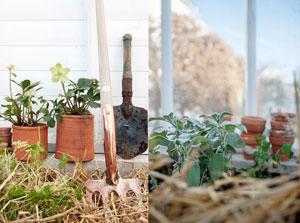 Koppargrep, spade, krukor med julrosor, jordbädd inbäddad i halm, växthus, orangeri , Seden Green House