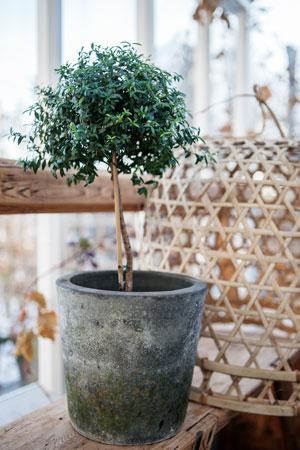 Formklippt myrtenträd i blåsvart patinerad kruka på träbänk intill uppochnervänd rund korg i bambu