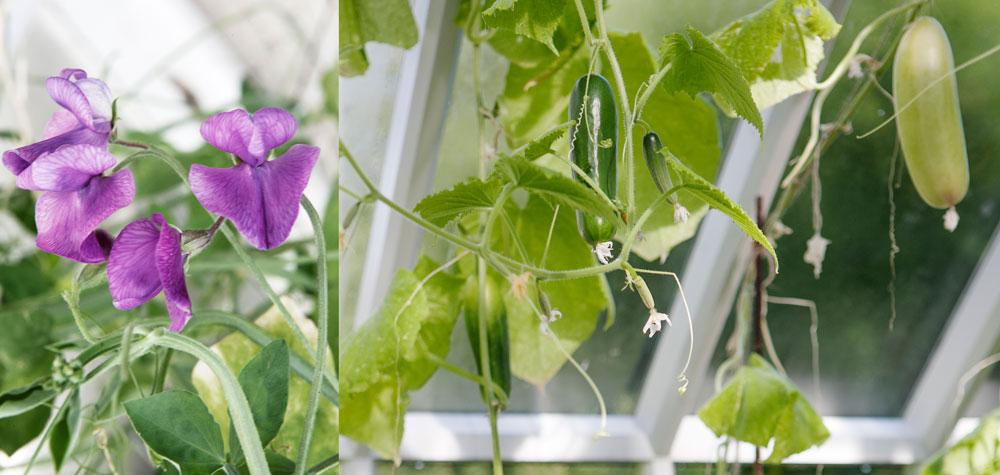 Luktärter och gurka från odlingar i växthuset under säsongen 2016