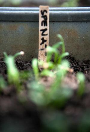 Små späda spenatblad spirar ur jorden i en zinklåda uppmärkta med en pinne.