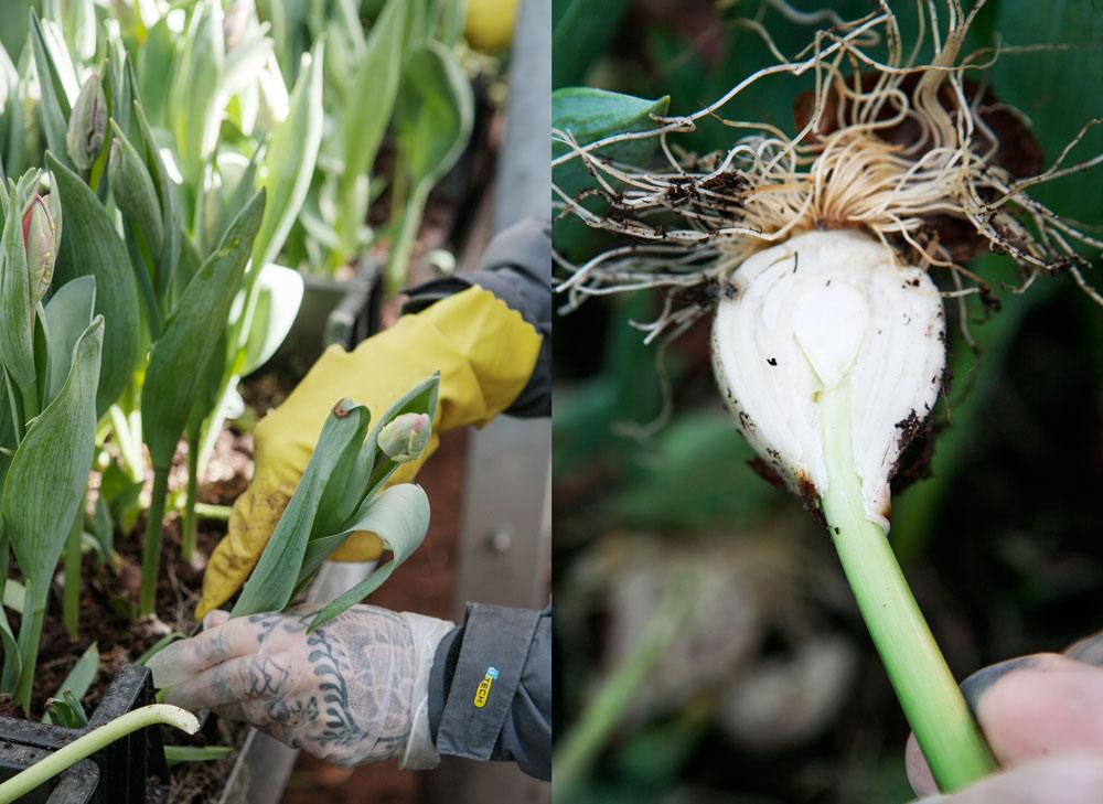 Dubbel bild ifrån Vibergs blommor när man skördar tulpaner, Vissa stjälkar är så korta att man måste skär itu löken för att få en längre stjälk som finns nere i löken