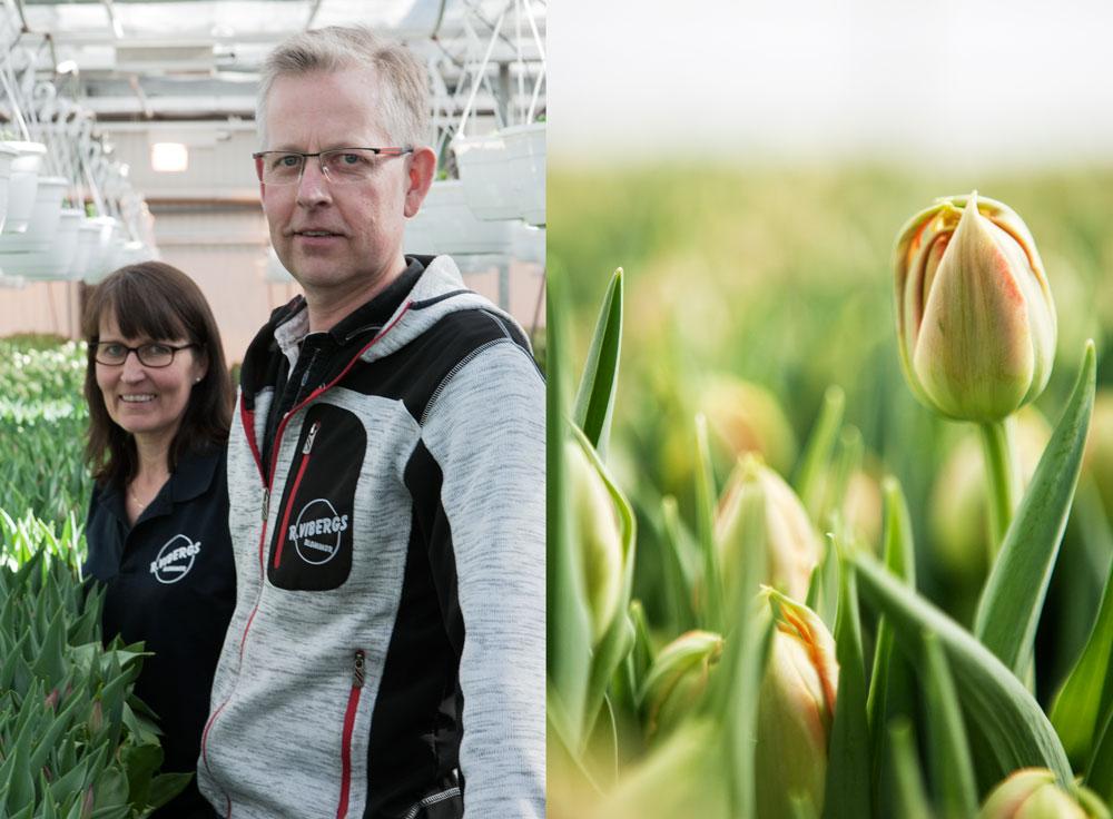 Dublett med bild på LottaHellund och Pontus Viberg från Vibergs blommor samt en närbild på n knoppig mörkgul tulpan