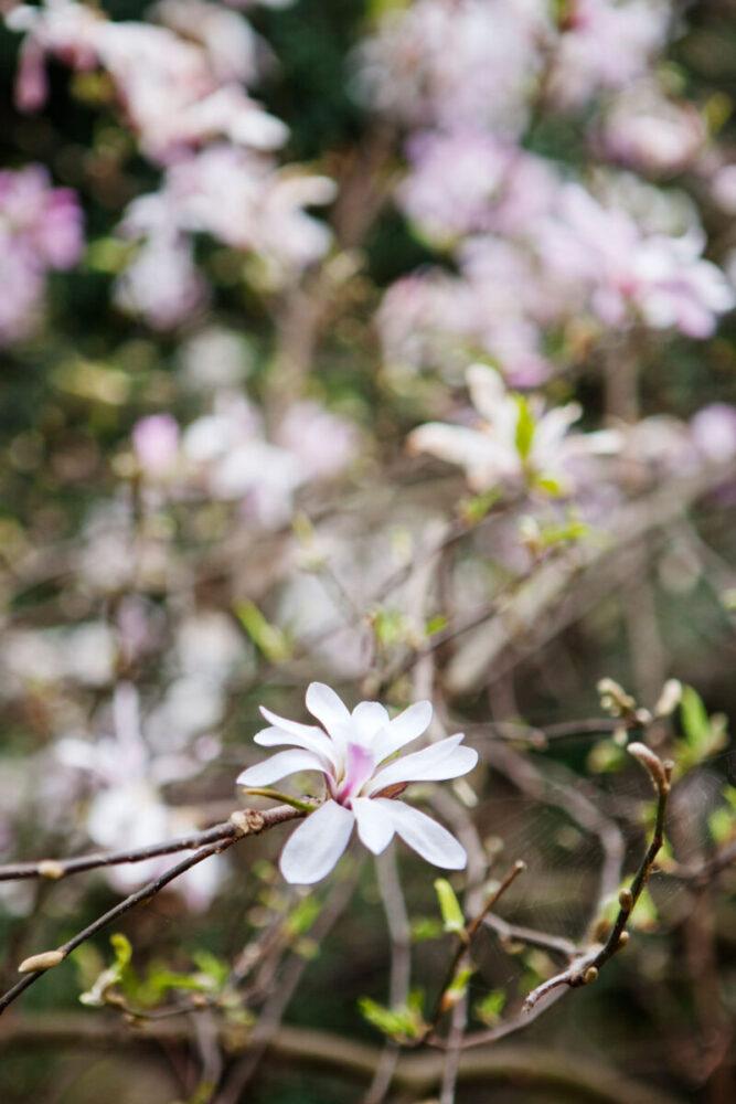 Svagt rosa stjärnmagnolia i full blom.