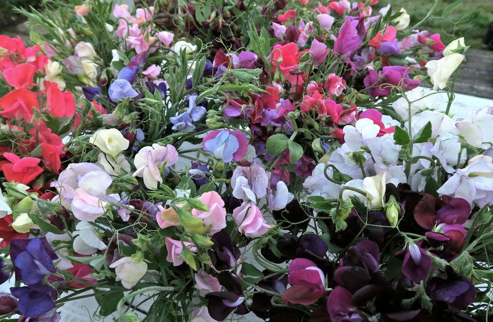 Ett hav av lutärter i olika färger såsom vitt, rosa rött violett, blått och rosa