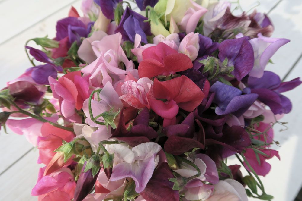 En bukett me luktärter i olika färg, såsom rosa, rött, lila, rosa och violett