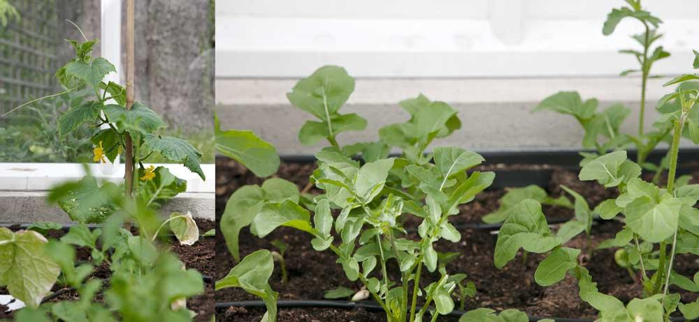 Bladgrönt och gurka växer i jordbädden på den högra sidan.