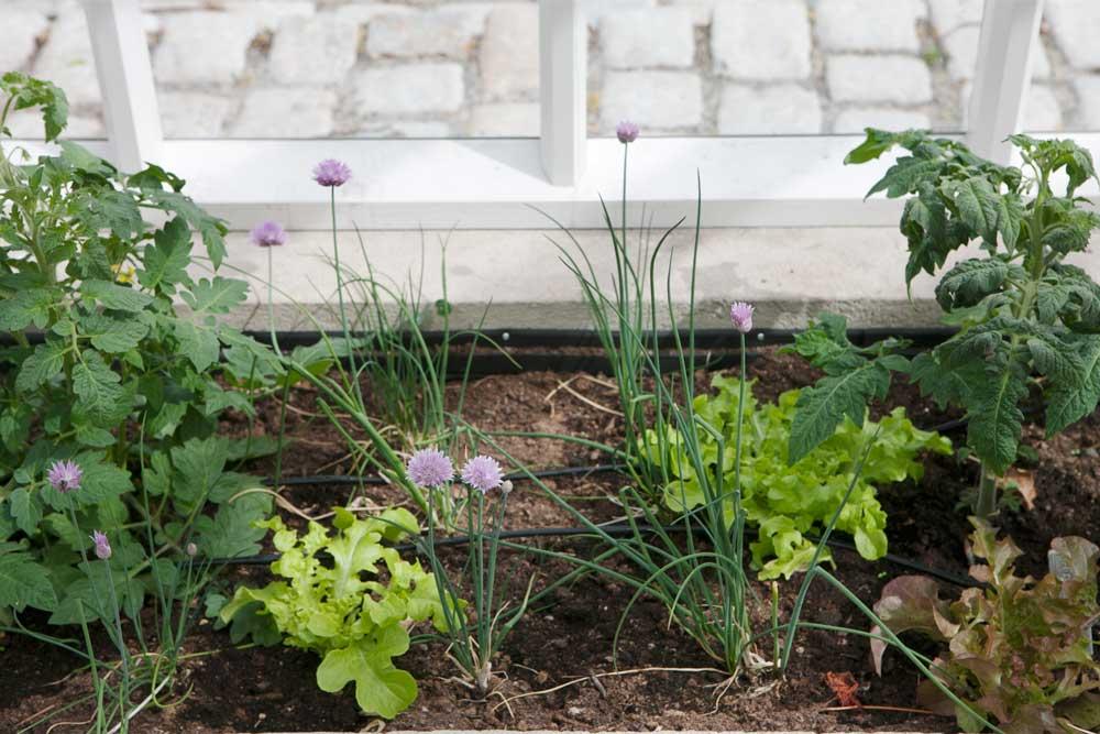 I nackaväxthusets växthusbäddar växer just nu gräslök tomater och sallat