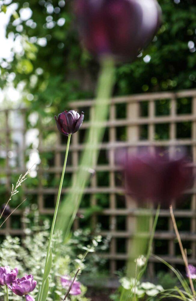 Mörkröda tulpaner som tycks sväva över jordbäddarna