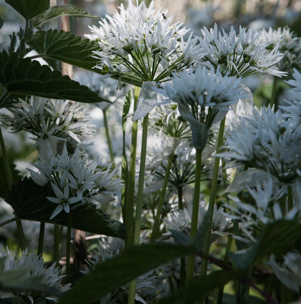 Närbild på ramslök i blom