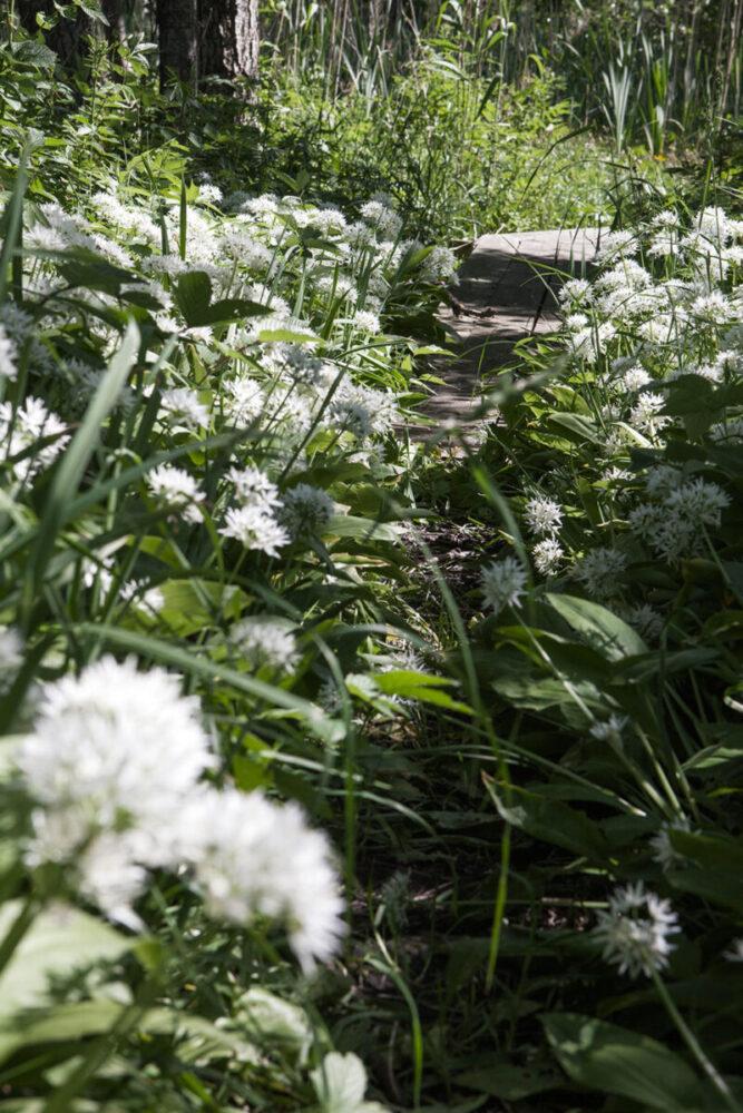En liten stig som löper genom ett fält med ramslök