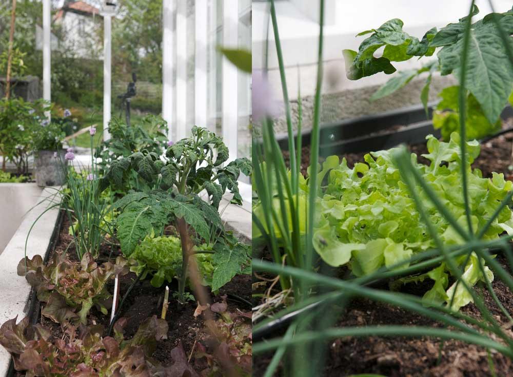 Tomater, gräslök och sallat är vad vi odlar i våra upphöjda bäddar i år.