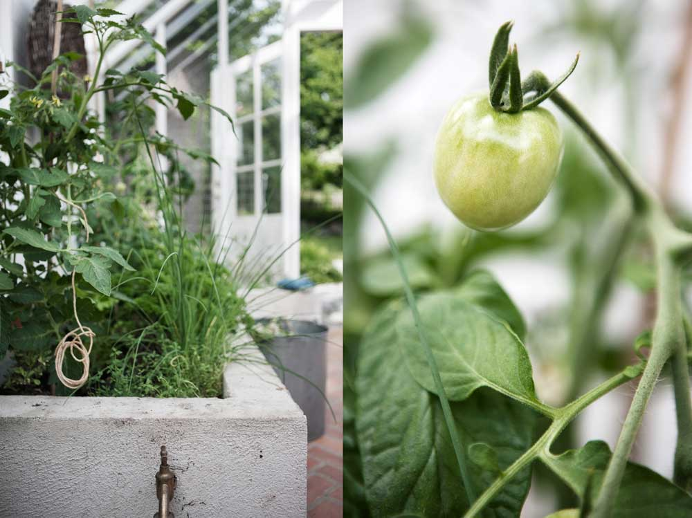 Deväxthusodlade tomatplantorna växter på bra i växthuset. Så här sköter du dem på bästa sätt.