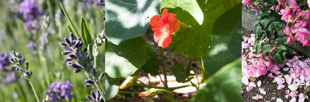 lavendel, krasse och ros är växter som ger ätbara blommor.