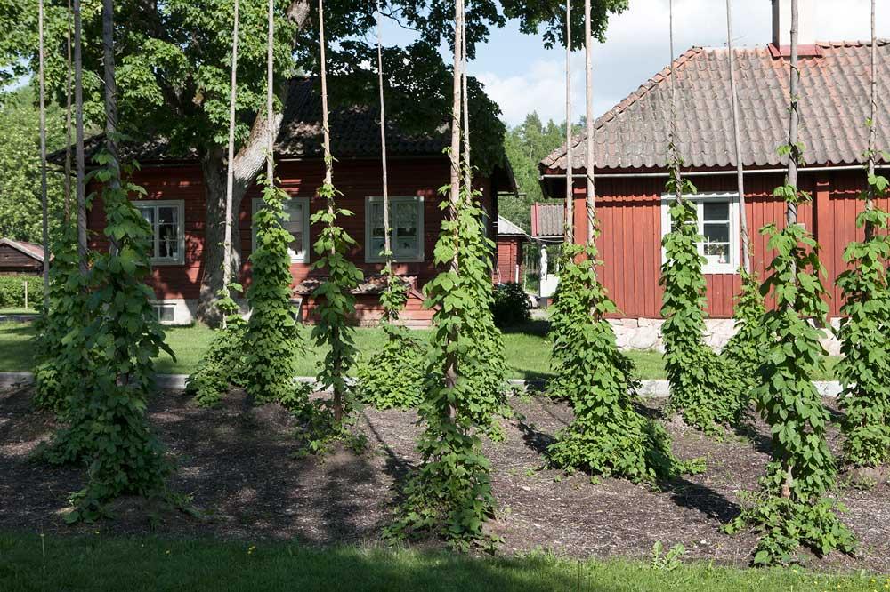 Humlestörarna påa Staberg med plantor som härstammar från 1700-talet.