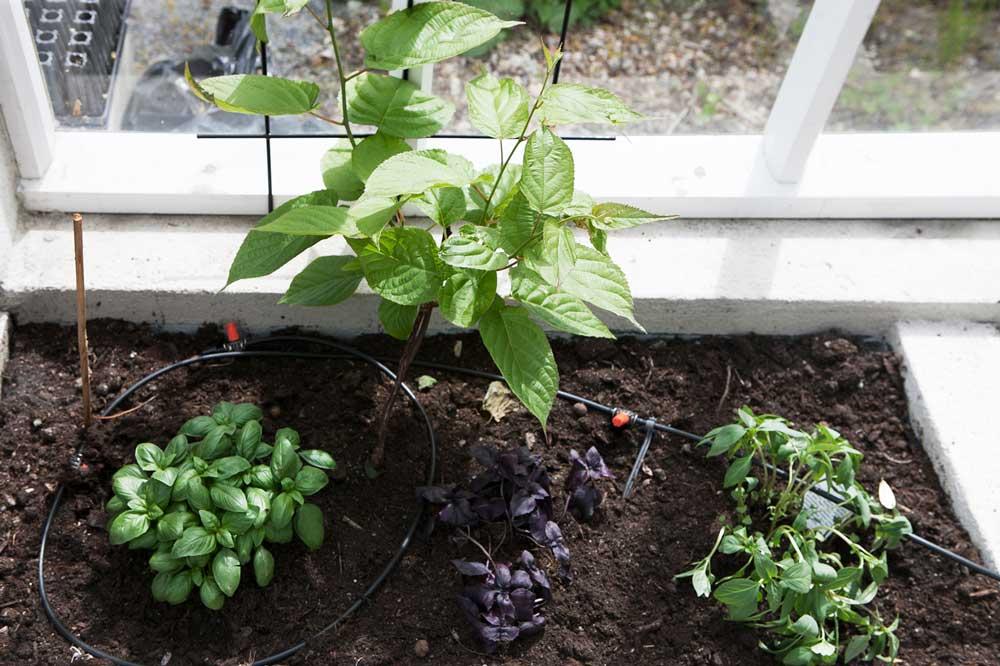 Minikiwi vill ha soligt och skyddat läge, en växthusväxt med andra ord.