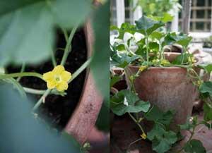 Melon är en växt som tillhör gurkväxtfamiljen och som älskar värme. Därför är växthuset en bra plats. Här är en planta planterad i en stor kruka och en närbild på en blomma.