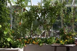 Nu är tiden mogen för att börja skörda av tomaterna som vi odlat i växthuset under säsongen. Här ser man hur plantorna dignar av frukt.