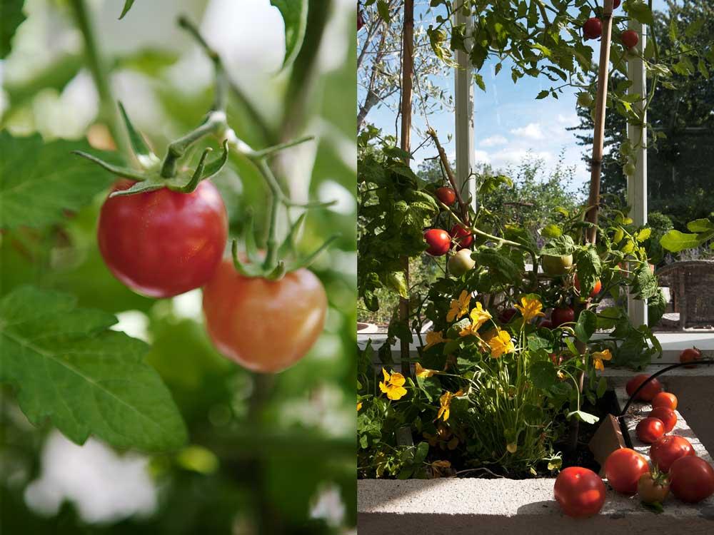 Bildbevis på att våra växthusodlade tomater är mogna och redo för skör.