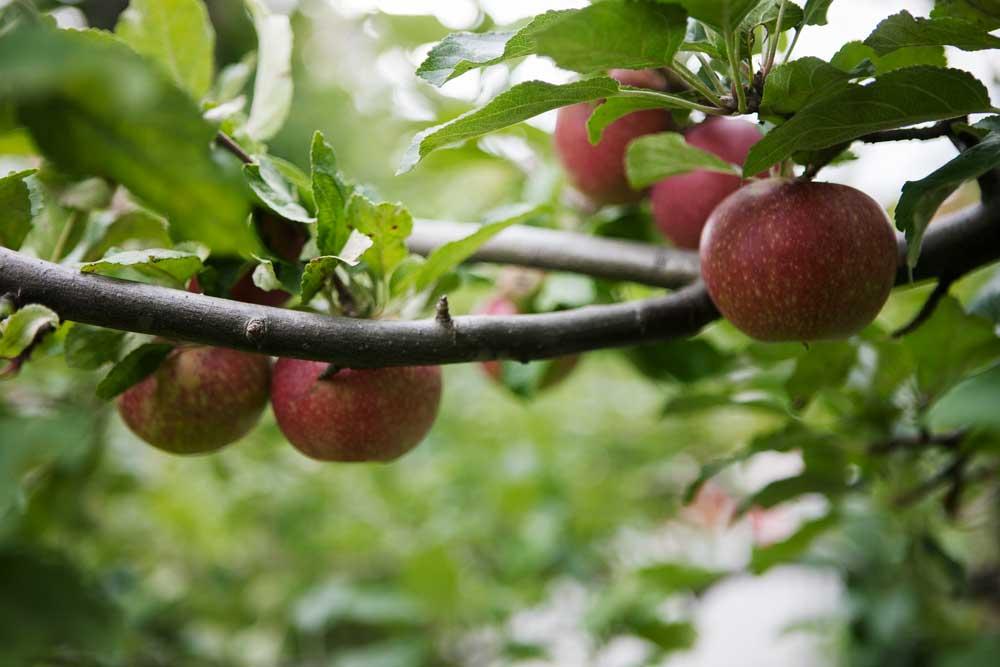 En gren i ett äppelträd fyllt med röda vackra äpplen.