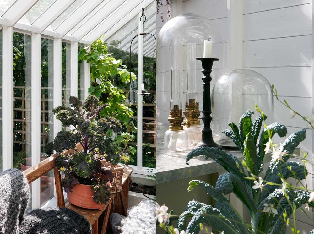 kålplantona som vi använder i växthus och orangeri är både fina och att dekorera med och att tillaga.