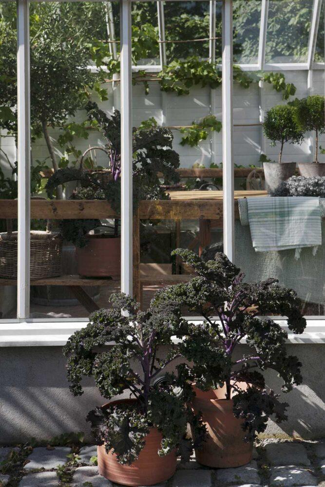 Råda kålplantor är en vacker partner till olivträdet i växthuset.
