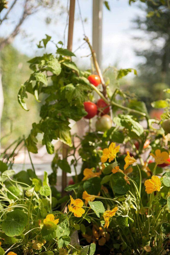Växthusodlade tomat i kombination med krasse är en fin duo i växtduo i växthuset.