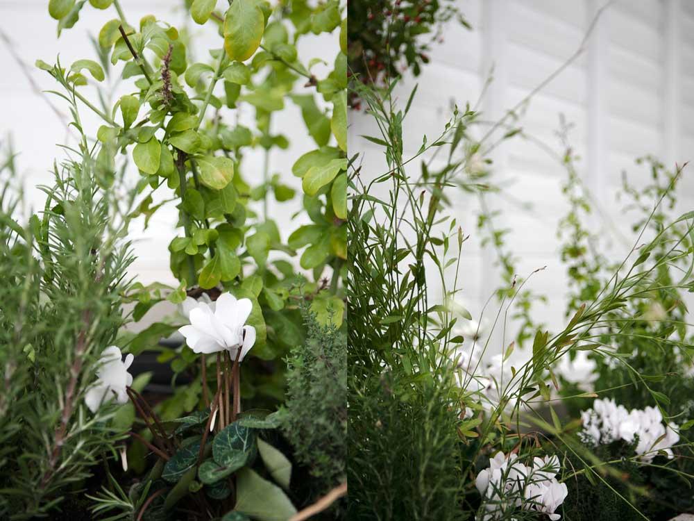 Cit cyklamen är vackert i växthuset mot kryddväxternas gröna bladverk.