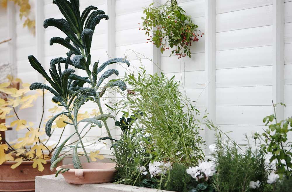 Cyklamen blandat med kryddväxter i växthusets upphöjda jordbäddar.