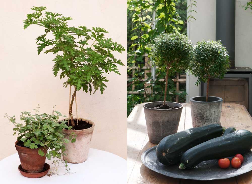 Myrten och rosengeranium är två krukväxter som hör till Sweden Green House favoriter.