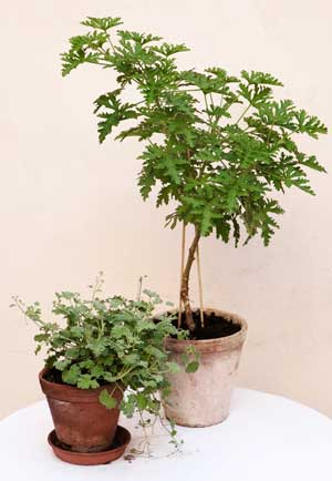 Rosengeranium är en växt som du kan dekorera ditt växthus med så här års när sommarens odlingar börjar falna.