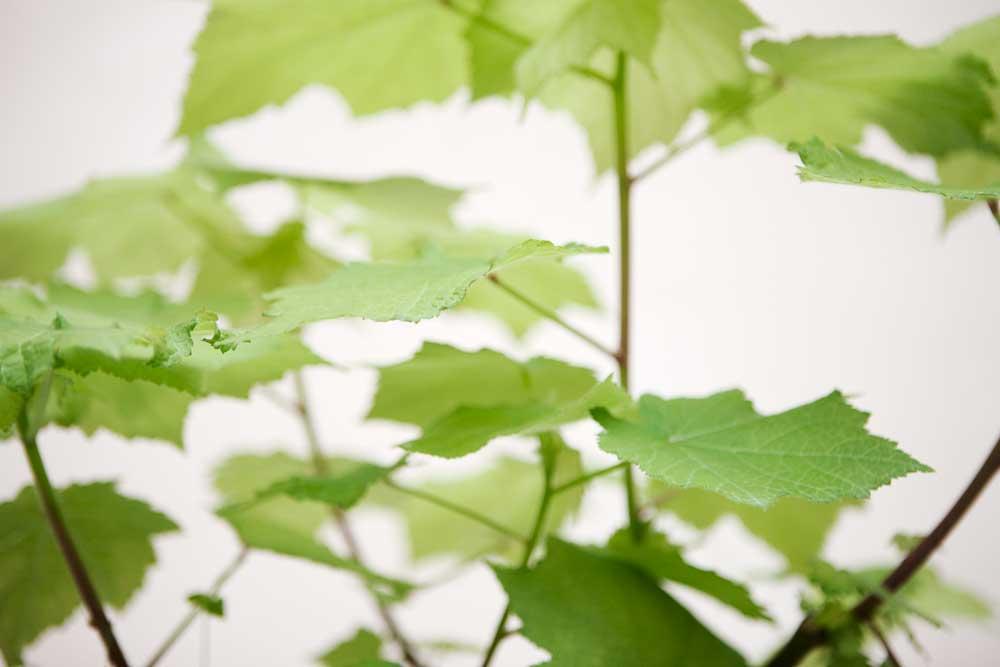 Rumslindens vackra bladverk är dekorativt. Det här är en gammaldags krukväxt som upptäcktes på 1700-talet av en av Linés lärjungar.