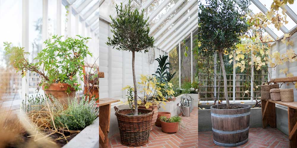 Pelargon och olivträd har flyttats in i växthuset inför den stundande vintern.
