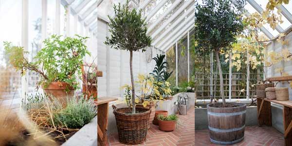 Här är några växter som vi sätter på vinterförvaring nu. Olivträds och pelargon.
