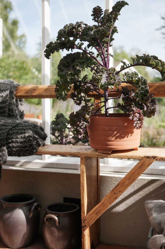 Höganäskruset är ett användbart kärl i växthuset. Här står det under träbänken och väntar på att användas.