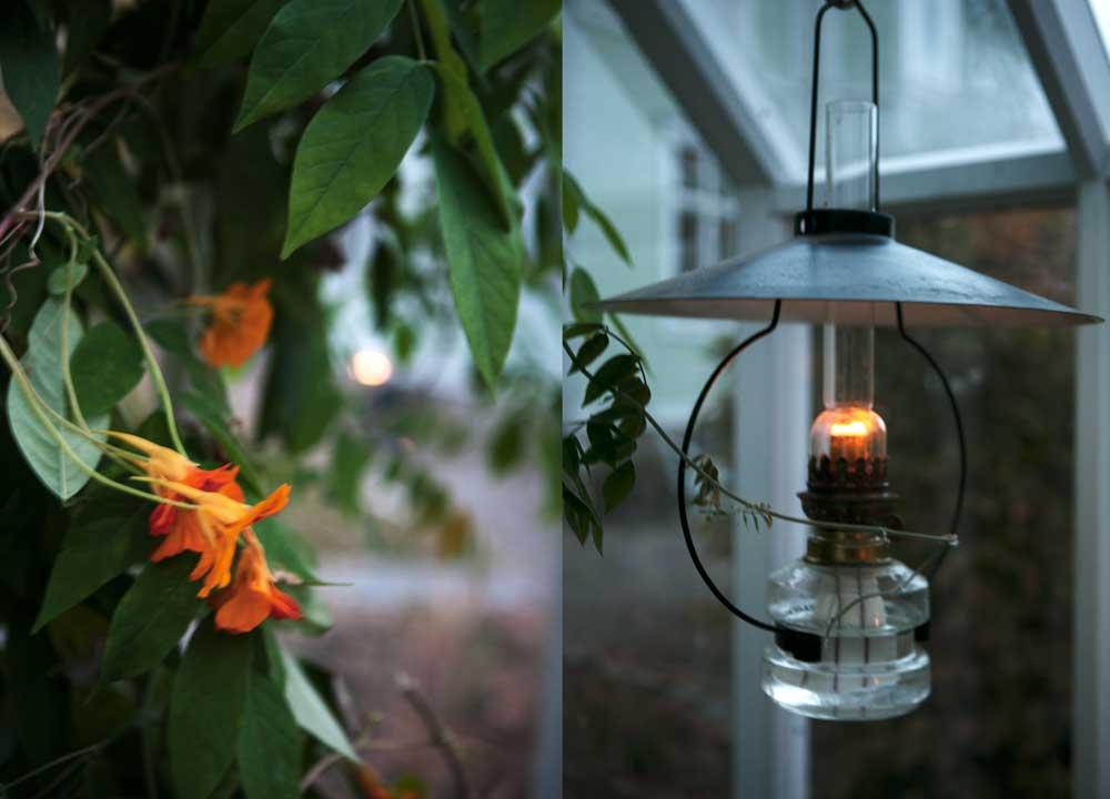 Vackert skymningsljus i växthuset tack vare tänd oljelampa som hänger i taket. De sista krasseblommorna lyser i dunklet.