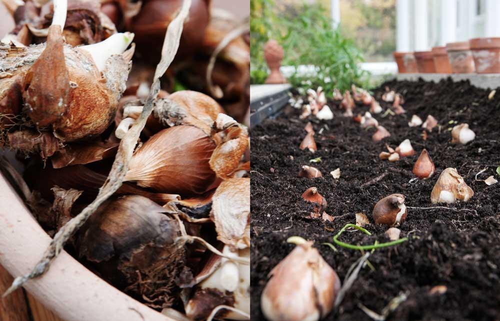 Dubbel bild, en närbild på lökar som vi ska plantera och en bild på jordbäddarna med lökar som ska stoppas ner i jorden.