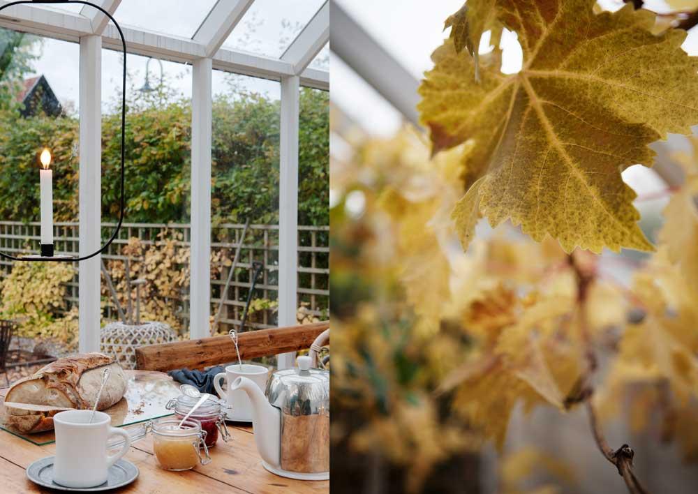 Här har vi dukat upp till eftermiddagste i växthuset med gott bröd och färglada marmelader. På bilden intill ser man vinrankan med sina saffransgula blad.