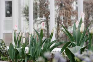Tulpanblomning i växthuset.