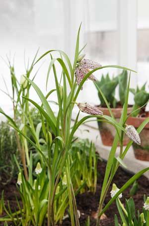 kungsängslilja, tulpaner och pärlhyacinter i växthusets upphöjda jordbäddar.