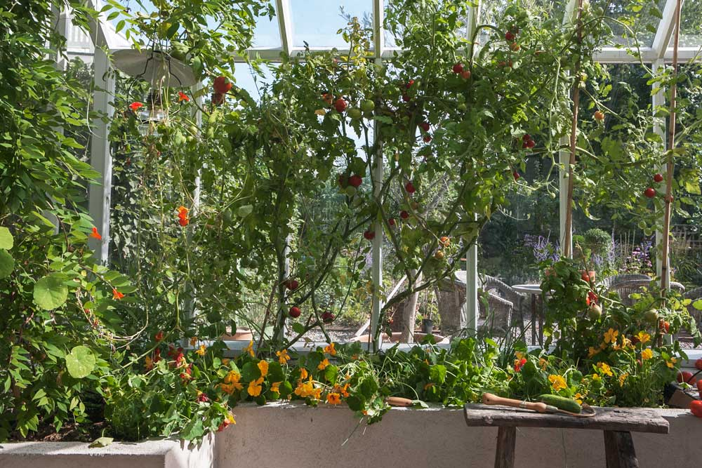 En mur av tomatplantor som dignar av tomater i växthuset i Nacka.