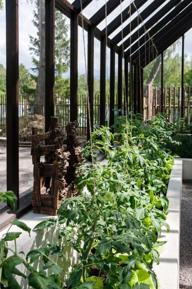 Tomatplantor på rad i växthuset hemma hos trädgårdsdesignern Mariika Delin