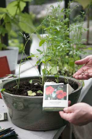 Krassefrön sätts i en glaserad kruka i växthuset hos Maria Delin.