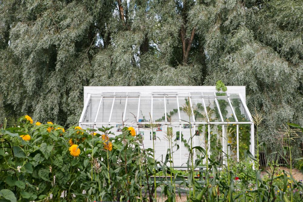Vitt växthus med pulpettak bakom solrosor.
