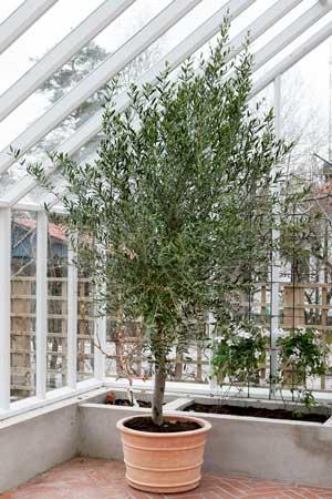 Ett ståtligt olivträd plantrad i en generös terrakottakruka.