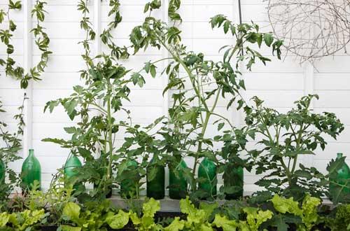 Våra odlingar i växthuset i år. Tomaterna är givna och framför dem har vi satt sallat.