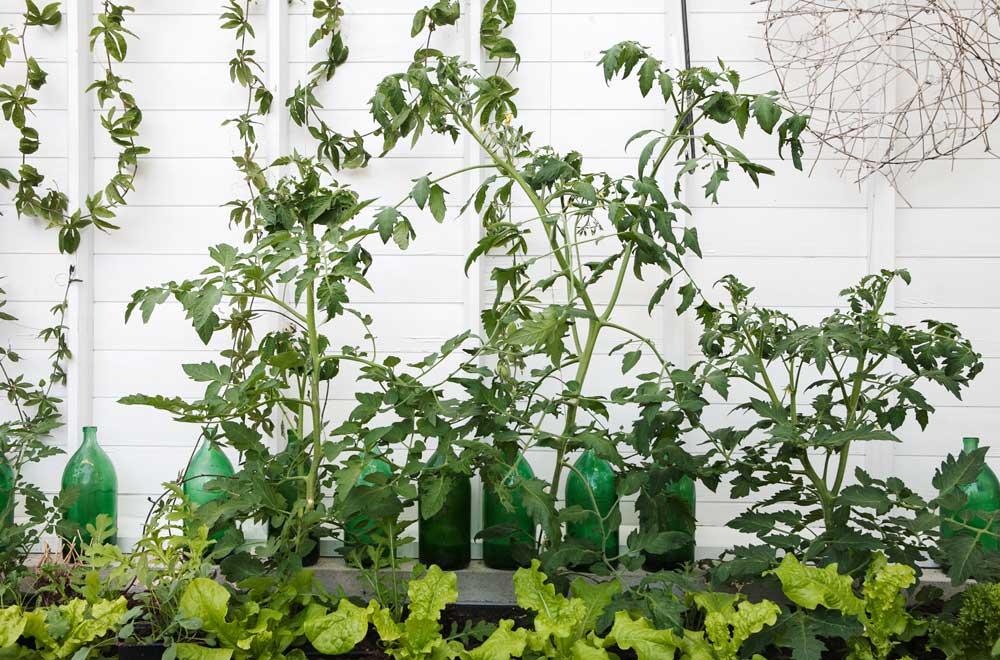 växthusets jordbäddar med tomatplantor och microleafs.
